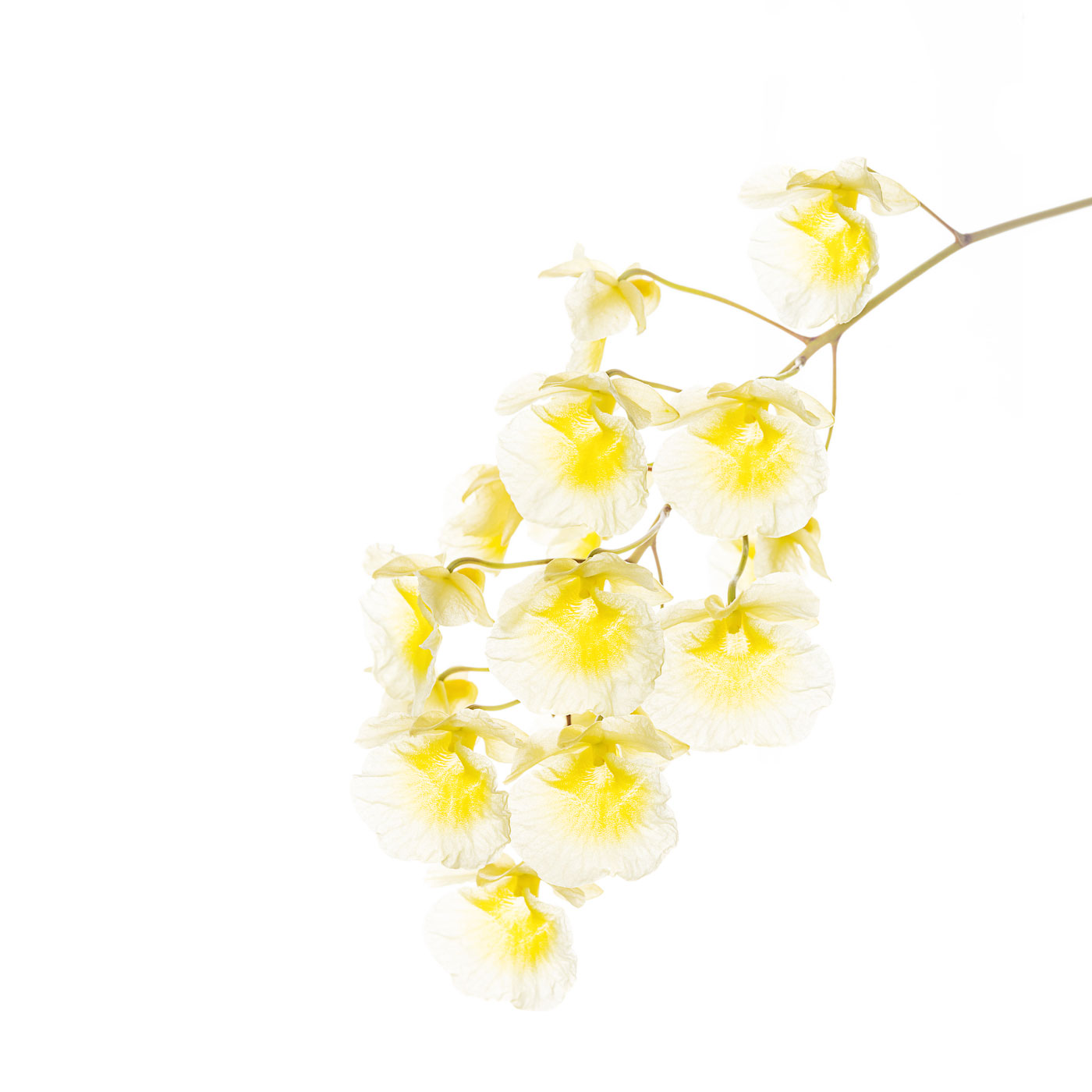 flower, tropical, flora, dendrobium aggregatum, photo