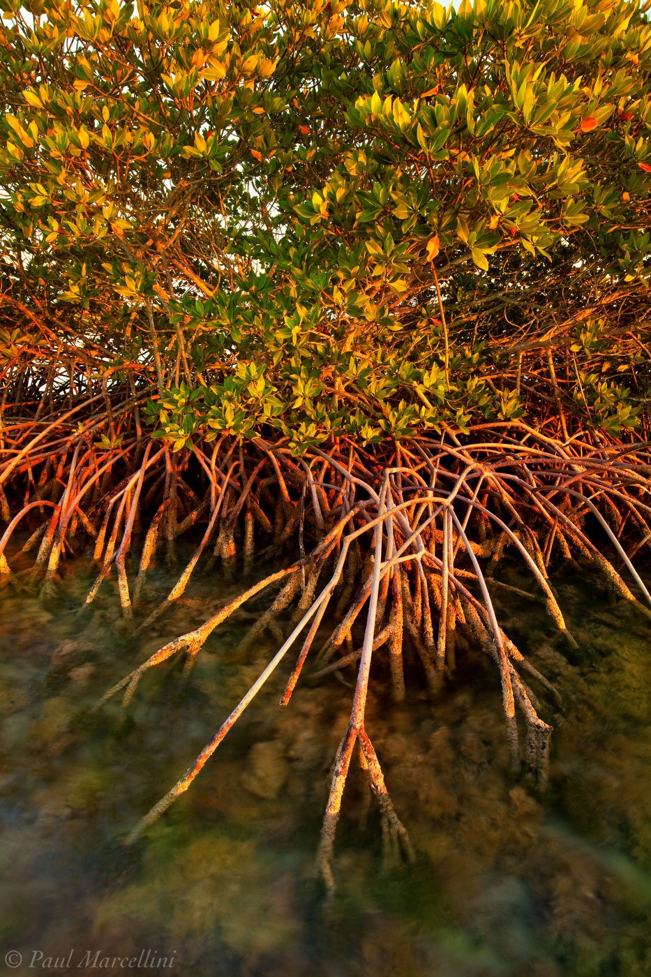 red mangrove, rhizophora mangle, prop roots, keys, florida, florida keys, south florida, nature, photography, , photo