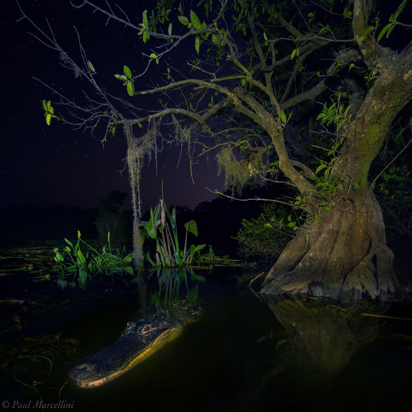alligator, big cypress, florida, lake, night, dark, photo