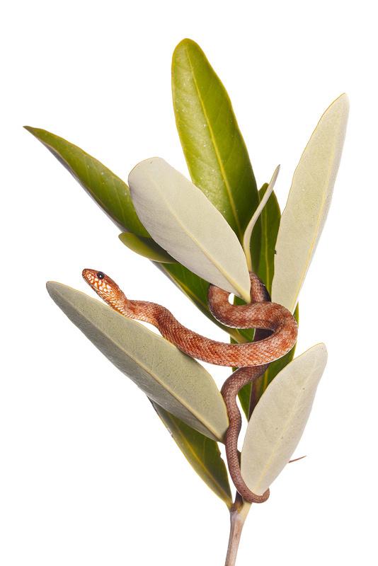 Mangrove Water Snake, Nerodia clarkii compressicauda, black mangrove, Avicennia germinans, photo