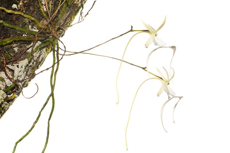 Ghost Orchid, Polyrrhiza lindenii, photo