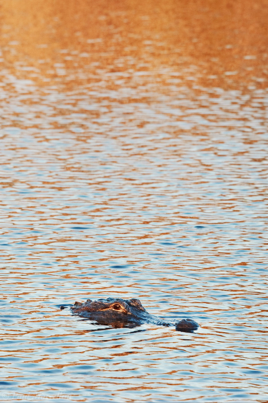 An American alligator (Alligator mississippiensis) with rippled water reflecting the blue sky and orange light of the afternoon...