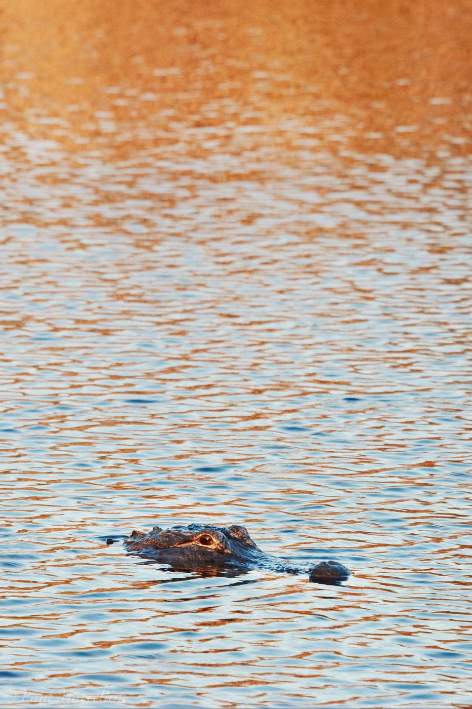American alligator, Alligator mississippiensis, everglades, photo