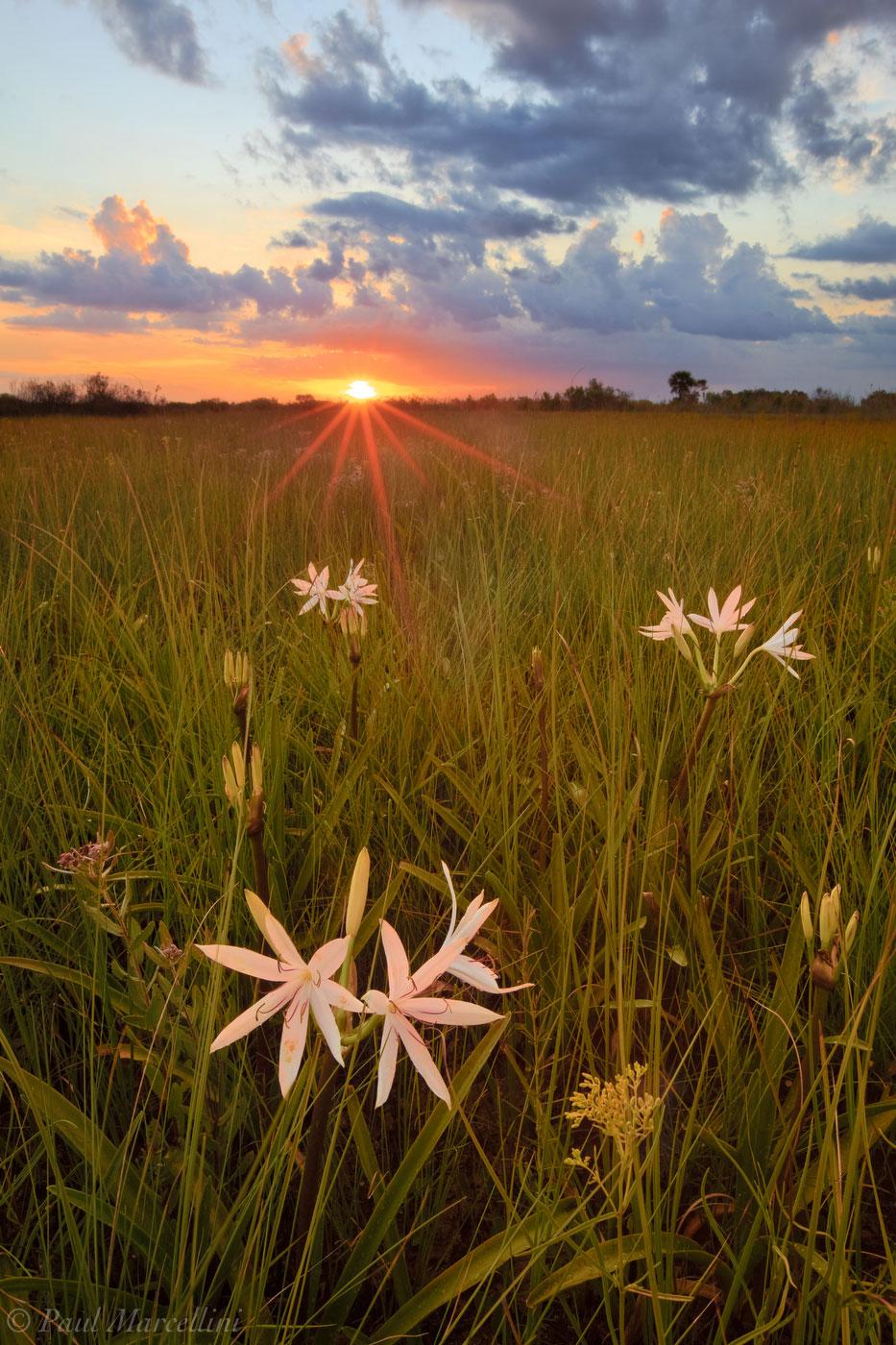 everglades, lilies, crinum americanum, Florida, nature, photography, florida national parks, photo