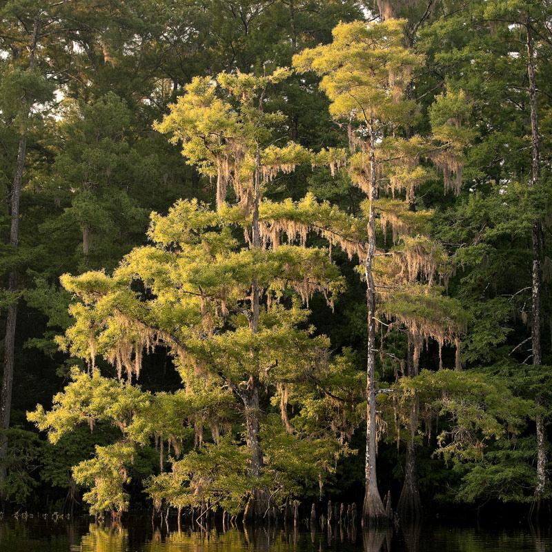 cypress, morning, fisheating, creek, florida, south florida, nature, photography, photo