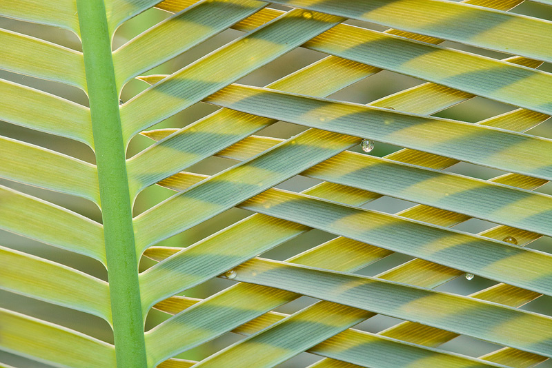 cycad, cycas, photo