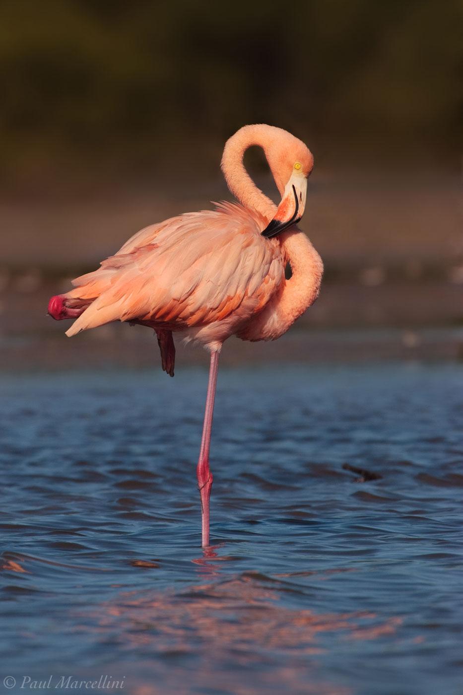 Phoenicopterus ruber, american flamingo, everglades national park, florida bay, photo