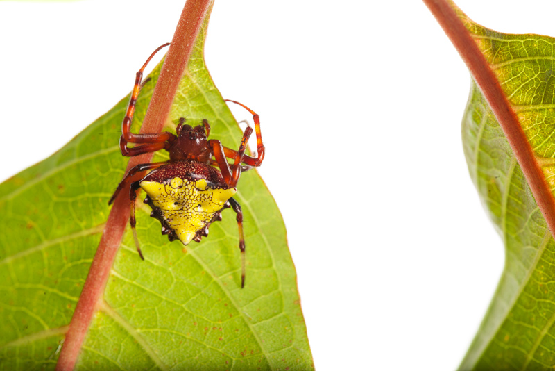 Verrucosa arenata, arrowhead spider, photo