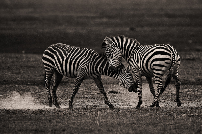 Equus quagga burchellii, burchell's zebra, lake nakuru, kenya, africa, photo