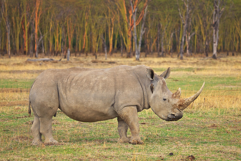 The White Rhino (Ceratotherium simum) got it's name from a mistranslation of wide rhino, as in wide lipped.