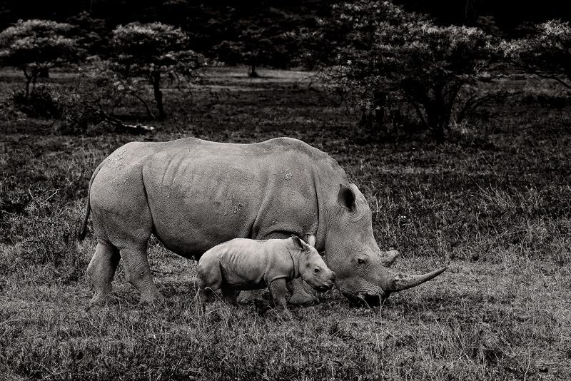 Ceratotherium simum, baby white rhino, lake nakuru, kenya, africa, photo