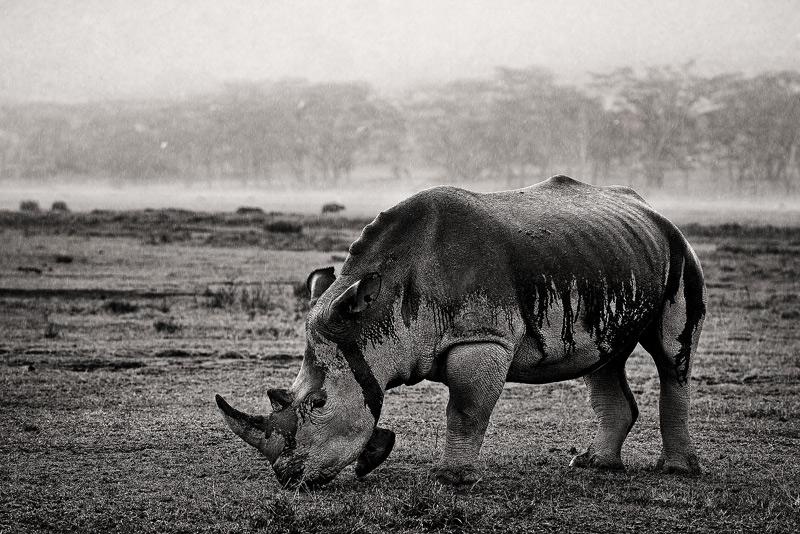 Ceratotherium simum, white rhino, lake nakuru, rain, kenya, africa, photo