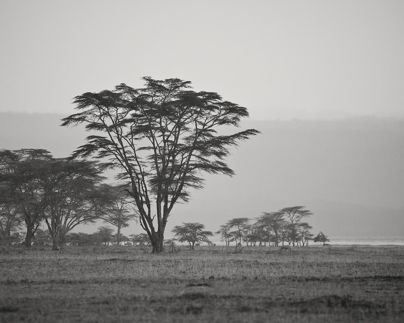 fever tree, Acacia xanthophloea, mosquito, malaria, lake nakuru, kenya, africa, photo