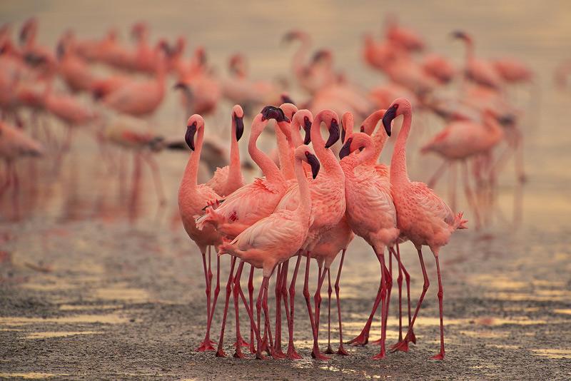 Phoenicopterus minor, lesser flamingo, lake nakuru, kenya, africa, photo