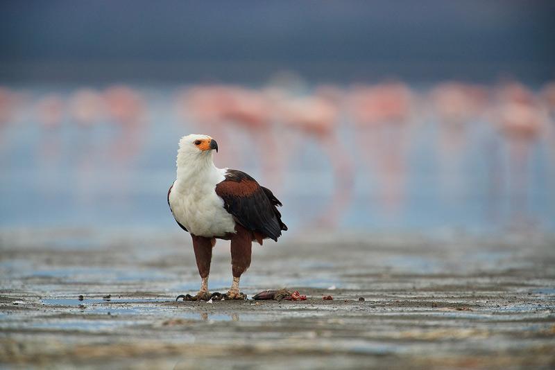 African Fish Eagle, Haliaeetus vocifer, kenya, lake nakuru, flamingos, africa, photo
