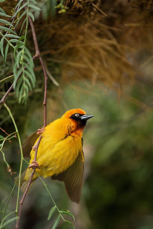 Ploceus spekei, speke's weaver bird, lake nakuru, kenya, africa, photo