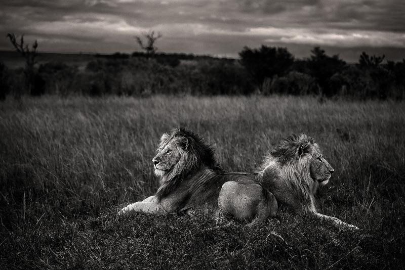 lion, masai mara, kenya, africa, photo
