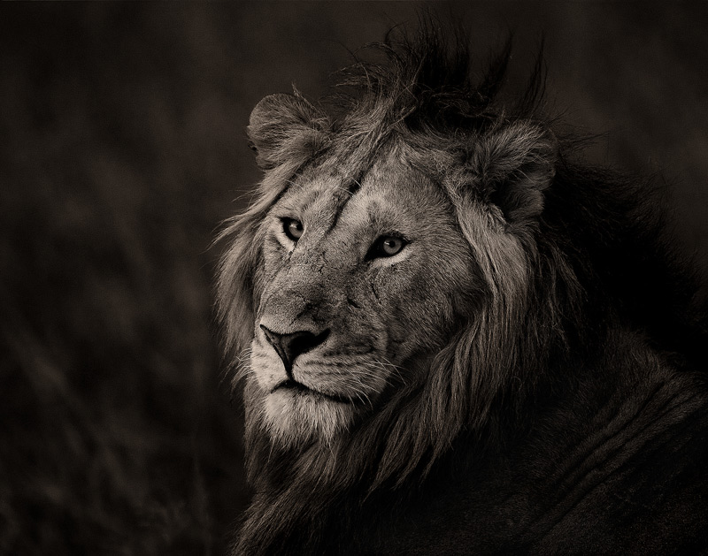 A healthy beautiful wild lion, an impressive animal when seen in the flesh.