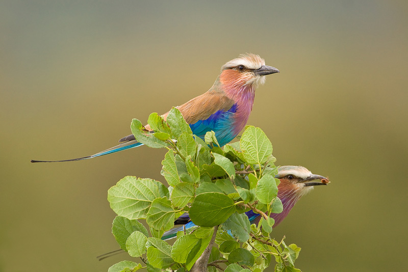 The beautiful Lilac-Breasted Rollers (Coracias caudatus) were always flying about, adding color to the Mara.