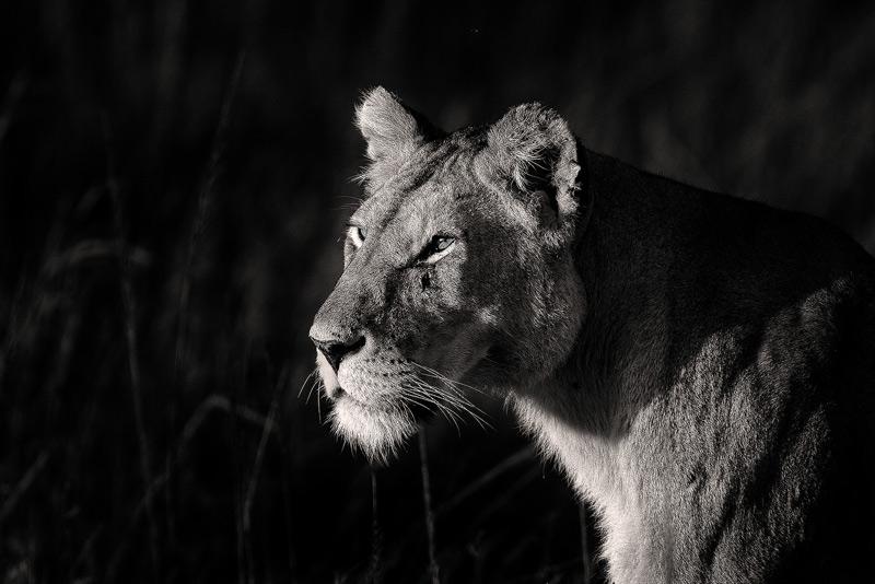 lioness, africa, kenya, masai mara, photo