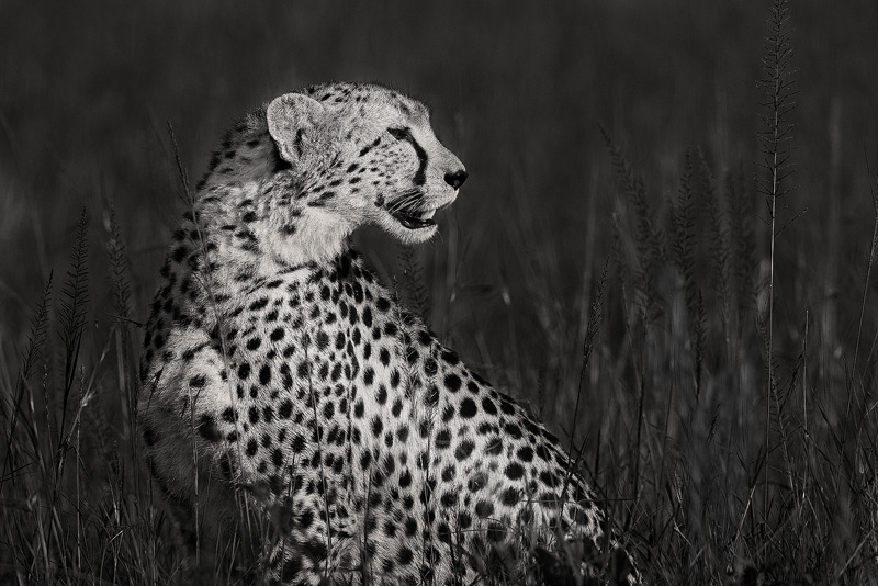 cheetah, masai mara, kenya, africa, photo