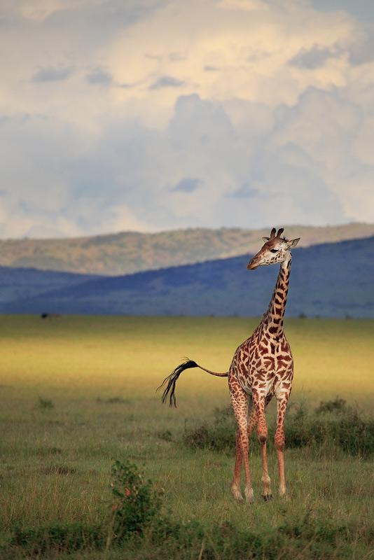 Giraffa camelopardalis tippelskirchi, masai, giraffe, kenya, africa, photo