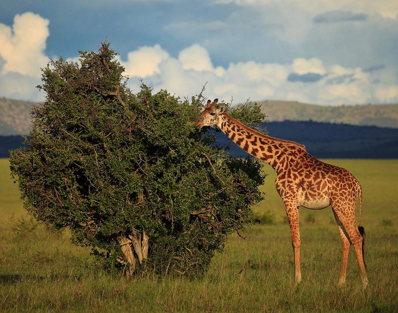 giraffe, kenya, africa, masai mara, photo