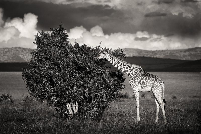 Giraffa camelopardalis tippelskirchi, masai giraffe, masai mara, kenya, africa, photo