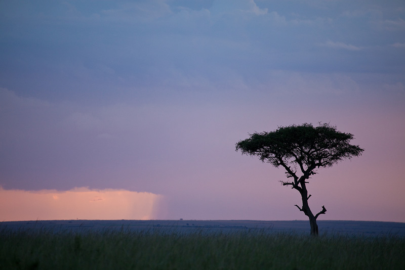 The iconic Acacia tree with a storm at sunset.