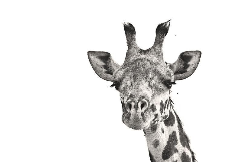 Masai Giraffe, Giraffa camelopardalis tippelskirchi, photo