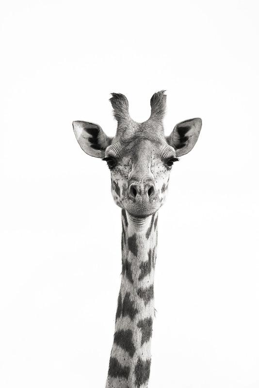 Masai Giraffe, Giraffa camelopardalis tippelskirchi, mara, kenya, africa, photo