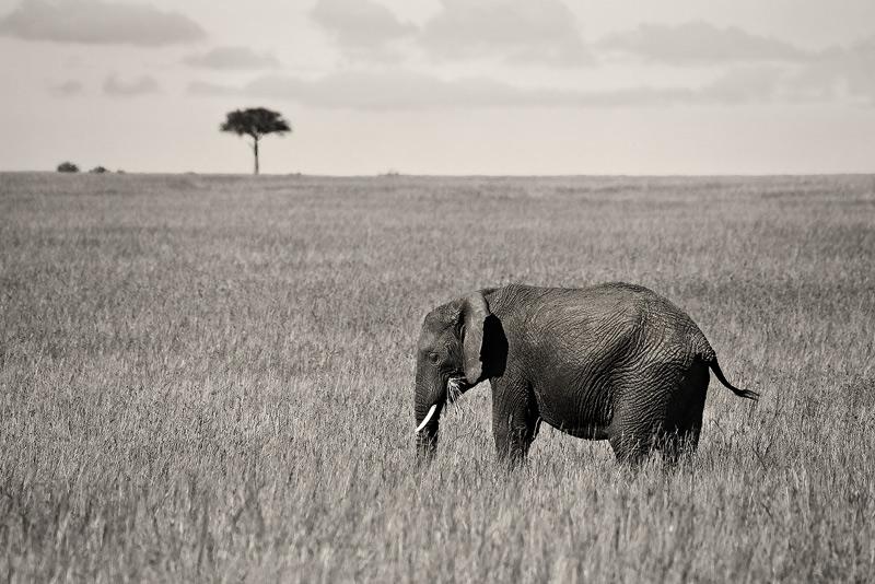 elephant, acacia, kenya, africa, masai mara, photo