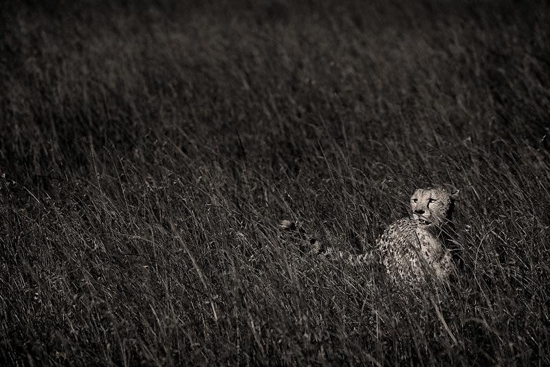 masai mara, kenya, africa, cheetah, photo