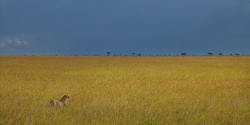 cheetah, masai mara, kenya, africa, grassland, photo