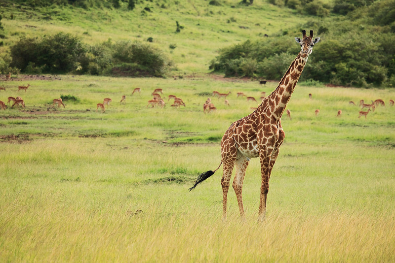 masai mara, Giraffa camelopardalis tippelskirchi, giraffe, kenya, africa, photo