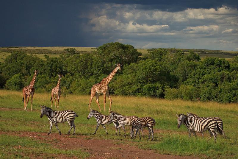 giraffe, zebra, kenya, masai mara, africa, storm, photo