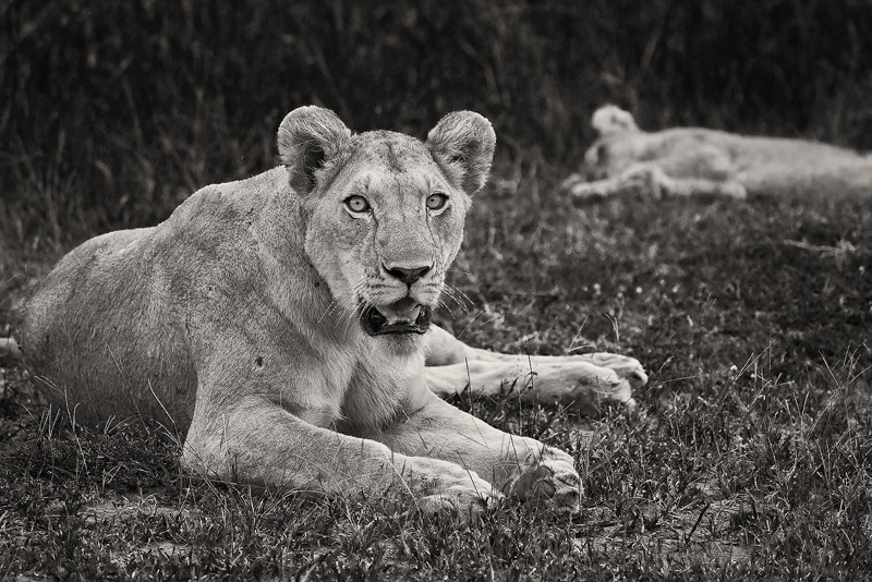 A lioness watches over her cub.