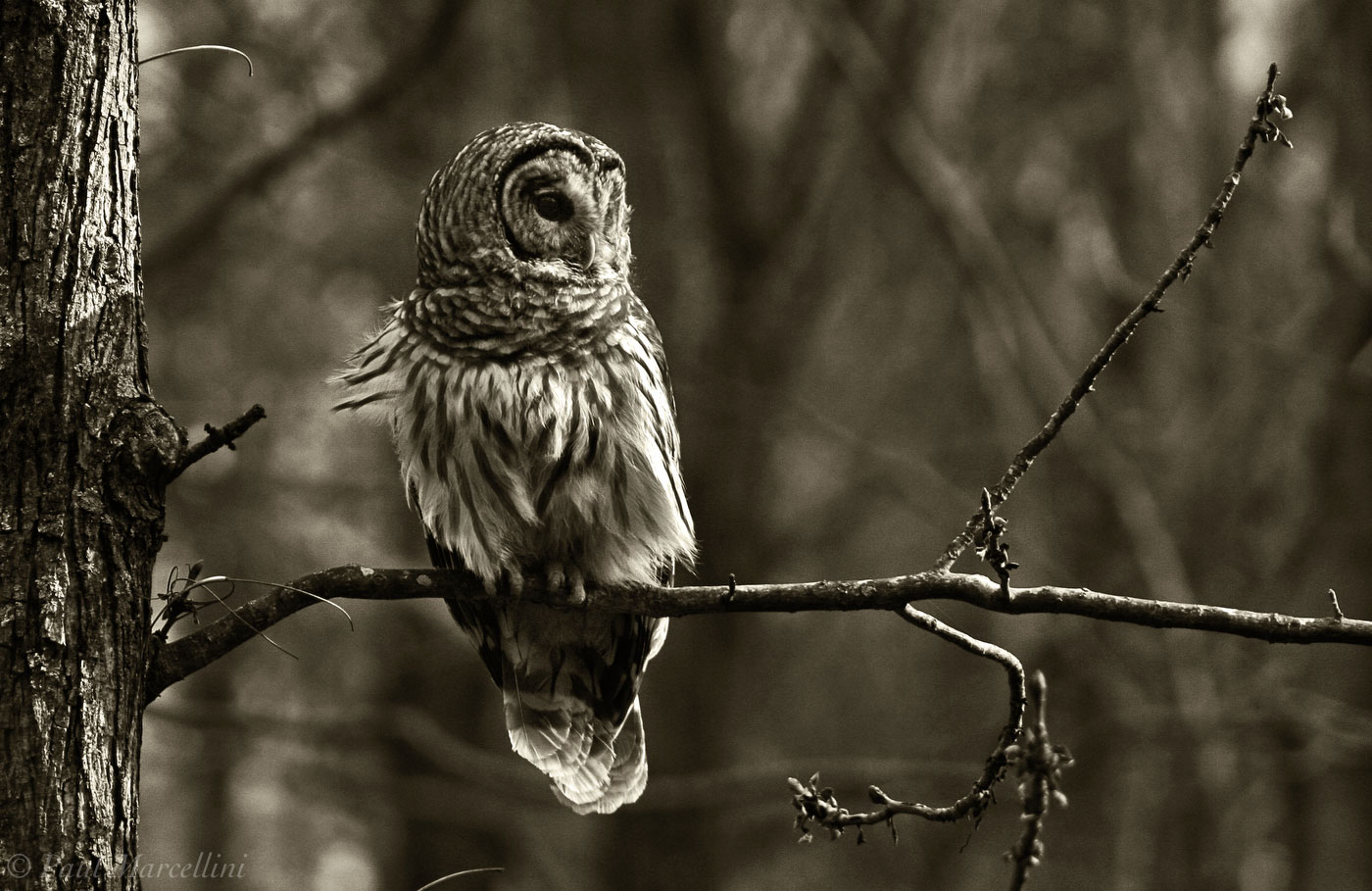 Radnor Lake State Park, Tennessee, barred owl, tennessee, photo