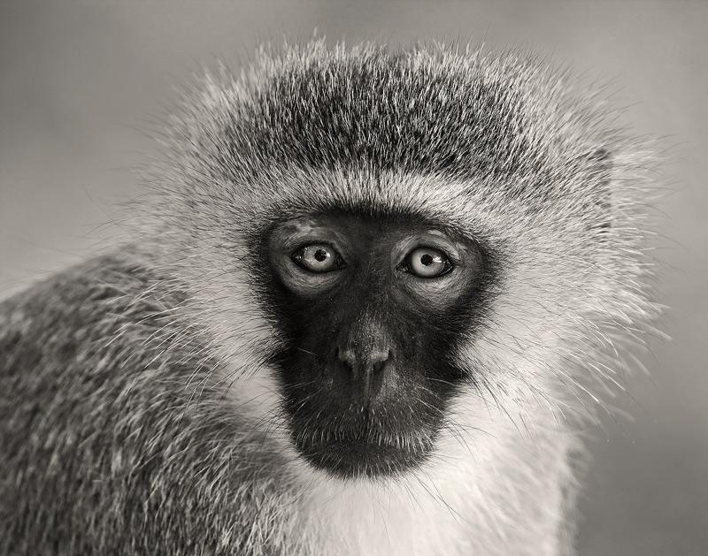 Chlorocebus pygerythrus, vervet monkey, samburu, kenya, africa, photo