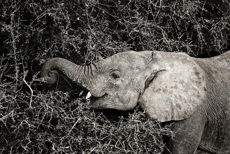 elephant, samburu, kenya, africa, photo