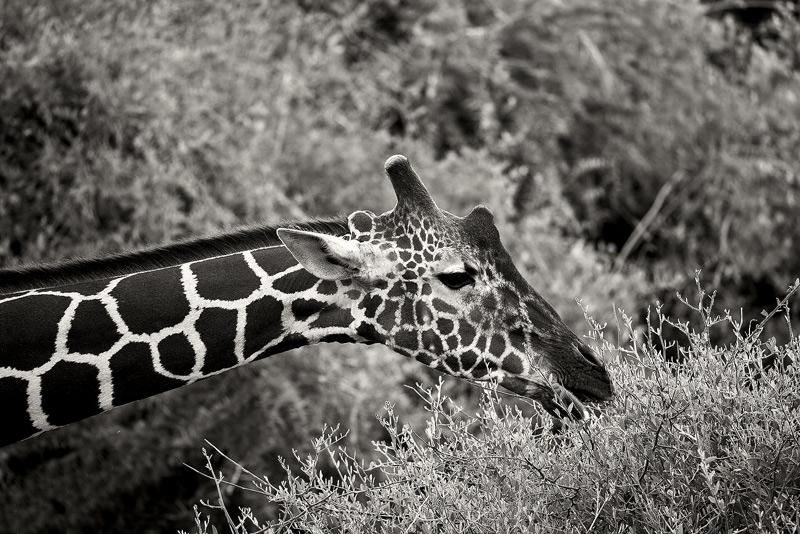 The Reticulated Giraffe (Giraffa camelopardalis reticulata) up close.