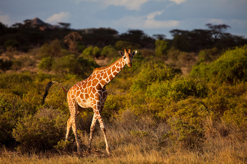 Reticulated Giraffe, Giraffa camelopardalis reticulata, samburu, kenya, africa, photo