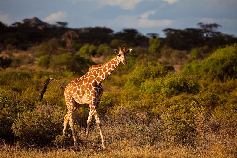 Reticulated Giraffe, Giraffa camelopardalis reticulata, samburu, kenya, africa, photo