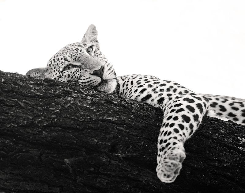 Panthera pardus, leopard, samburu, kenya, africa, photo