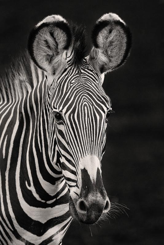 grevys zebra, equus grevyi, kenya, samburu, africa, photo