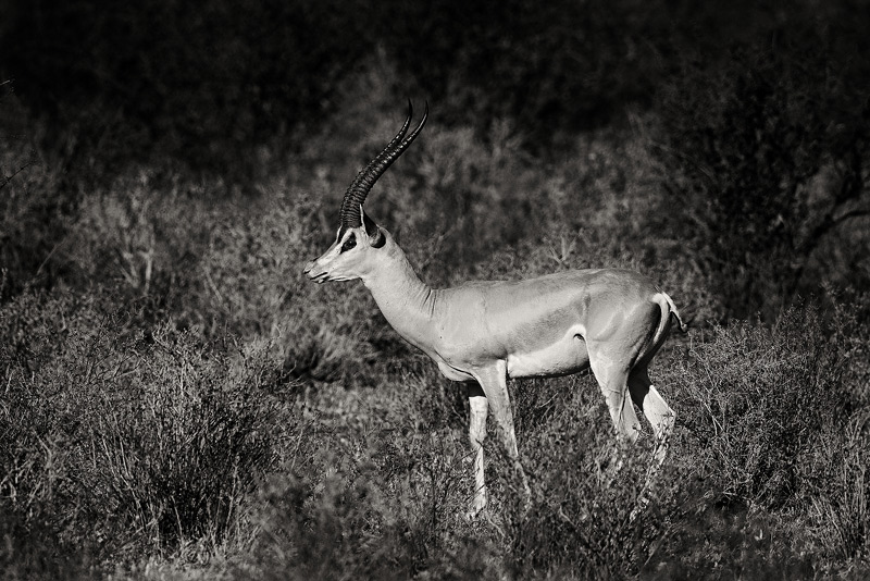 Grant's gazelle (Nanger granti) in Samburu
