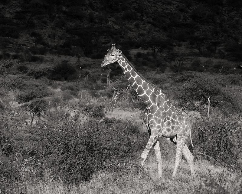 A Reticulated Giraffe (Giraffa camelopardalis reticulata) in the scrubby habitat of Samburu National Reserve.