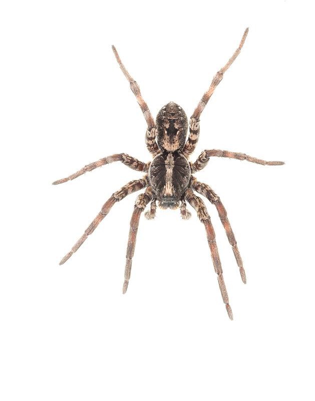 Carolina Wolf Spider, Hogna carolinensis, photo
