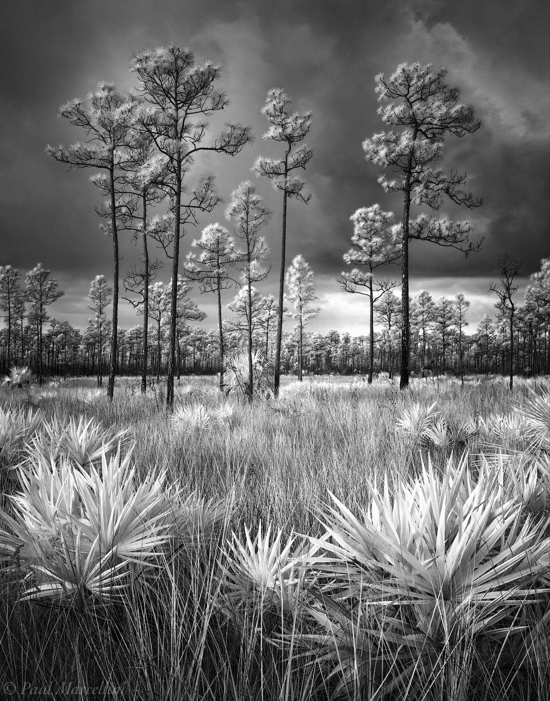 Everglades National Park, Florida, black and white, stormy, pine rocklands, photo