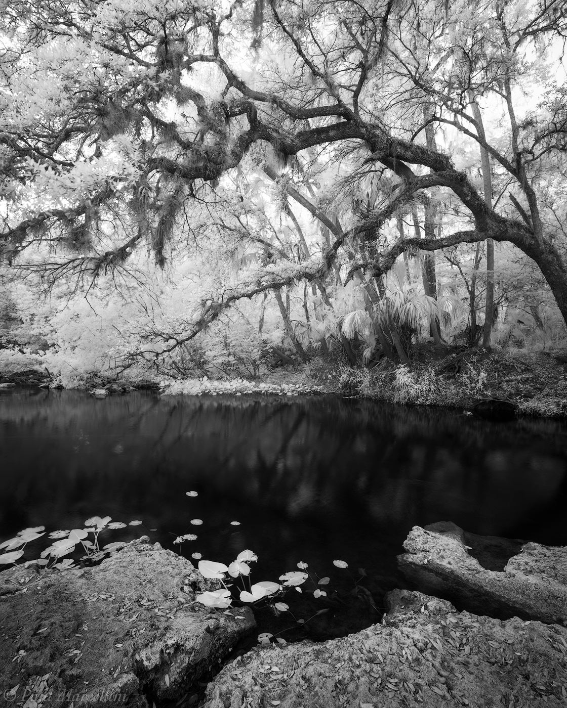 Hillsborough River State Park, Florida, oak, infrared, photo